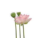Lotos-Blume