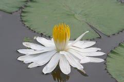 Lotos-Blume Stockfoto