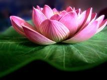 Lotos-Blume Stockfotografie