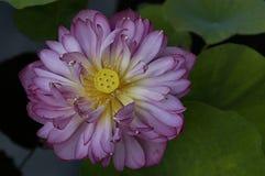 Lotos-Blume Lizenzfreies Stockbild