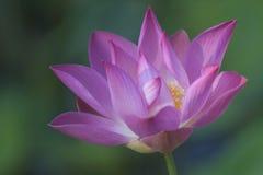 Lotos-Blume lizenzfreie stockfotografie