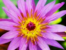 Lotos-Blume Lizenzfreie Stockfotos