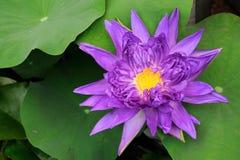 Lotos-Blume, Nymphaed Mischling Stockfoto