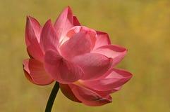 Lotos-Blume w/Golden Bkgd Stockfotografie