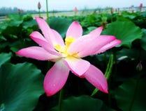 lotos Blumen Stockbilder