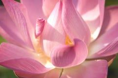 Lotos-Blumen-oben Abschluss Lizenzfreie Stockfotos