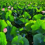 Lotos-Blumen-Sommersaison-Blütezeit lizenzfreies stockbild