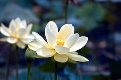 lotos czarująca Fotografia Royalty Free