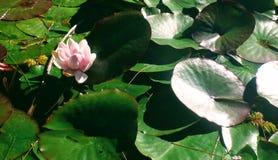 Lotos in einem Teich Stockbilder