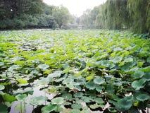 Lotos en el lago en la universidad de Tsinghua (en Pekín) Foto de archivo libre de regalías