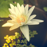 Lotos flower. One white water lily lotos flower Stock Images