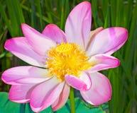 Lotos Flower Summer season Blooming time. Russia Astrakhan Caspian Sea Stock Photos