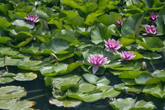 Lotos flowers on water. Australian river billabong with Lotos flowers and leaves stock image