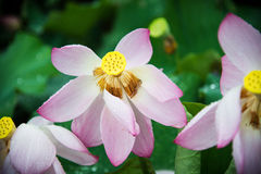 LOTOS FLOWERS. WITH WATER DROPS GUILIN CHINA Royalty Free Stock Photos