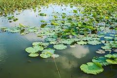 Lotos im Teich Lizenzfreies Stockfoto