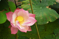 lotos kwitnące menchie obraz stock