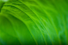 lotos liści Zdjęcia Stock
