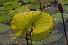 lotos liści Zdjęcia Royalty Free