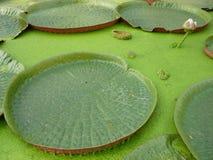 lotos lilly woda Zdjęcie Stock