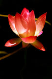 lotos menchie Obraz Royalty Free