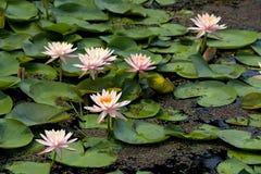lotos menchie Fotografia Stock