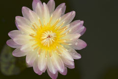 lotos menchie Zdjęcie Royalty Free