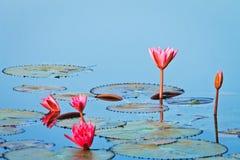 lotos menchie obraz stock