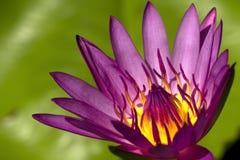 lotos menchie Zdjęcia Royalty Free