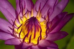 lotos menchie Zdjęcia Stock