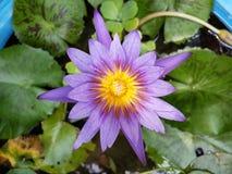 Lotos mit Blumen Stockfoto