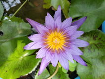 Lotos mit Blumen Lizenzfreies Stockfoto
