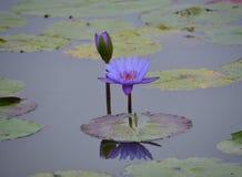 lotos na jeziorze Fotografia Royalty Free