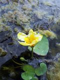 Lotos Nuphar lutea. Plant on water surface Stock Images