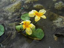Lotos Nuphar lutea. Plant on water surface Stock Photo