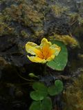 Lotos Nuphar lutea. Plant on water surface Stock Photos