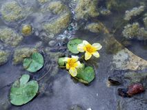 Lotos Nuphar lutea. Plant on water surface Royalty Free Stock Photo