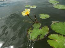 Lotos Nuphar lutea. Plant on water surface Stock Photography