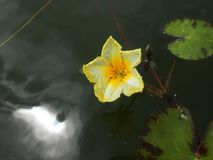 Lotos Nuphar lutea. Plant on water surface Royalty Free Stock Photography