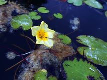 Lotos Nuphar lutea. Plant on water surface Royalty Free Stock Images