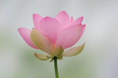 lotos odosobnione różowy Obrazy Royalty Free