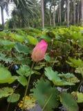 lotos ogrodowe menchie zdjęcie stock