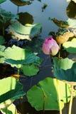Lotos piękny przy rzeką w zdjęcie stock