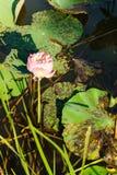 Lotos piękny przy rzeką w zdjęcie royalty free