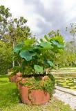 Lotos Plant Stock Photos