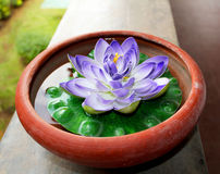 Lotos. Purple lotus in sri lanka beautiful Stock Photography