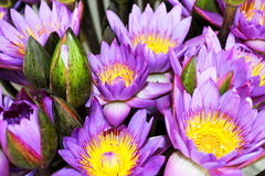 Lotos. Purple lotus in sri lanka beautiful Royalty Free Stock Photo