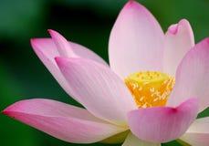 lotos różowy się blisko obraz royalty free
