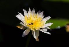 Lotos und Biene Lizenzfreies Stockfoto