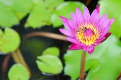 Lotos und Biene Stockfotografie