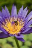 Lotos und Biene Lizenzfreies Stockbild
